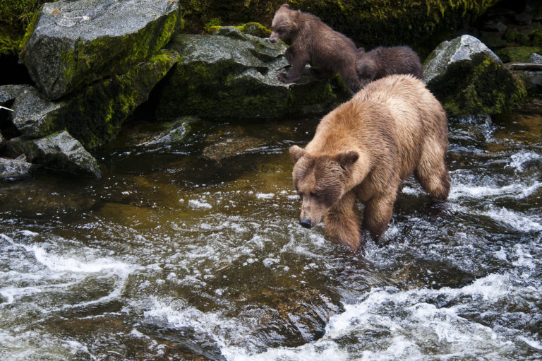 Anan Creek; Brown Bears; Wrangell