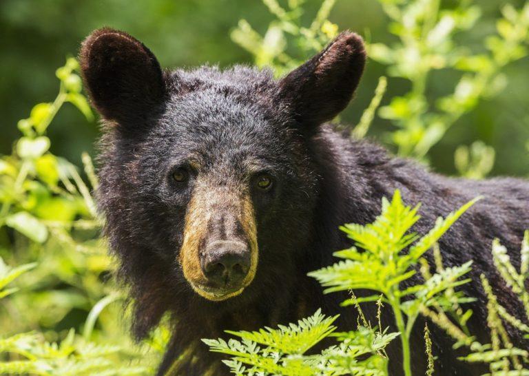 Pixaby_black-bear-1611349_1920