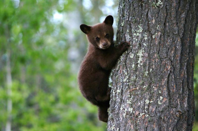 bear-79838_1920